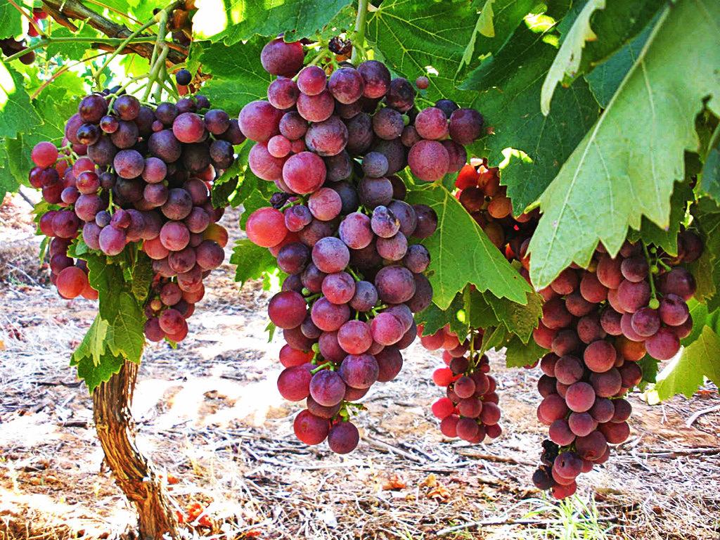 grapes-wine-chios-mesta