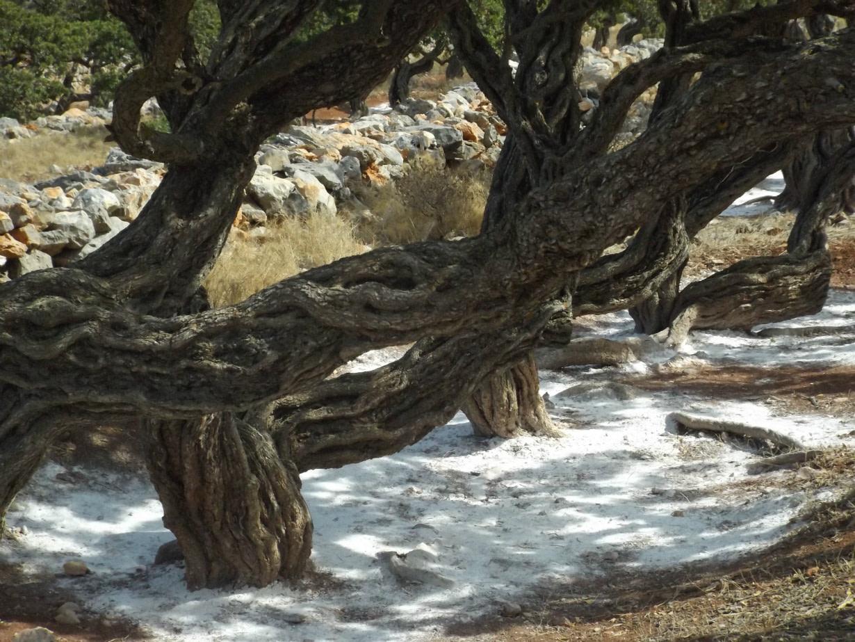 pandoras-kitchen-blog-greece-chios-mastictree-mastic